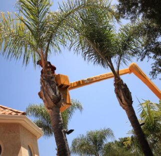 Palm Tree Trimming-El Cajon CA Tree Trimming and Stump Grinding Services-We Offer Tree Trimming Services, Tree Removal, Tree Pruning, Tree Cutting, Residential and Commercial Tree Trimming Services, Storm Damage, Emergency Tree Removal, Land Clearing, Tree Companies, Tree Care Service, Stump Grinding, and we're the Best Tree Trimming Company Near You Guaranteed!